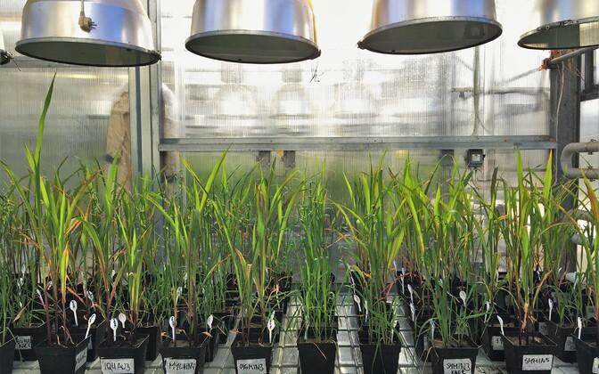 Potikatses kasutatud maisi- ja kaerataimed kasvuhoones.