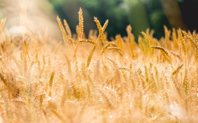Põllumajanduse neljas revolutsioon rajaneb sarnaselt tööstusele arvutitele ja tehisintellektile.