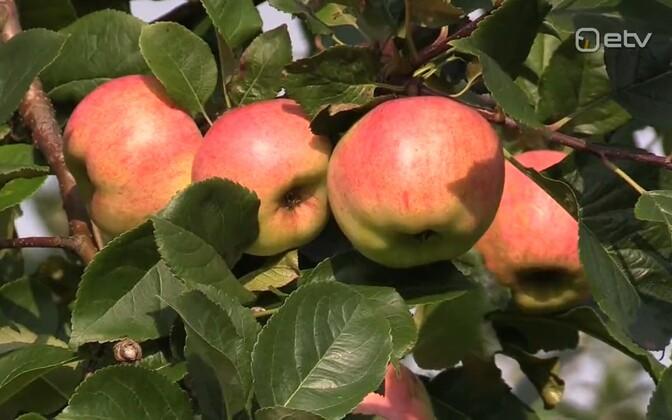 Не все садоводы в этом году могут похвастаться богатым урожаем яблок.