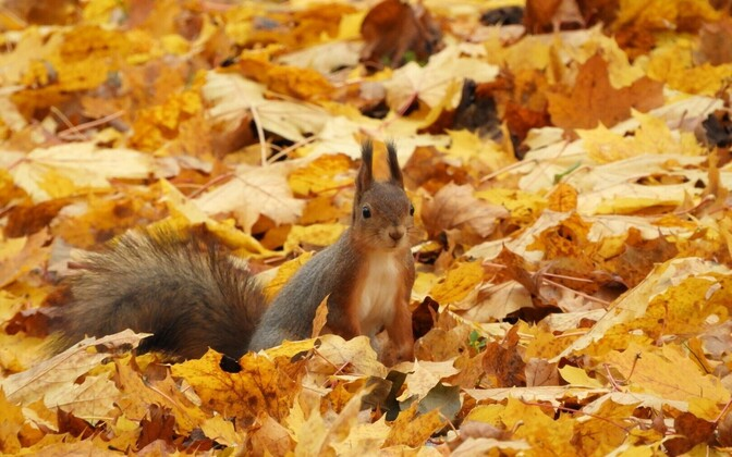 Red squirrel amidst autumn leaves (photo is illustrative).