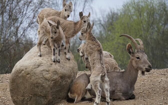 Сибирские горные козлы.