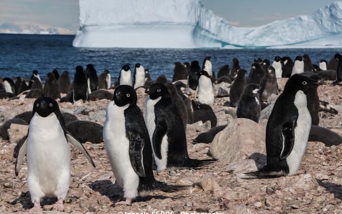 Pingviinid elasid neemel vähemalt kolmel perioodil, millest viimane lõppes umbes 800 aasta eest.