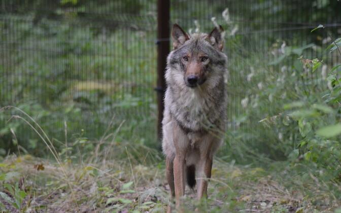 Волк в Элиствереском лесном зоопарке.