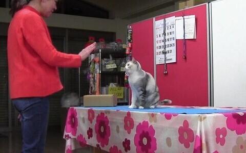 Ebisu nime kandev Jaapani kass võib olla maailma esimene kassist miim.