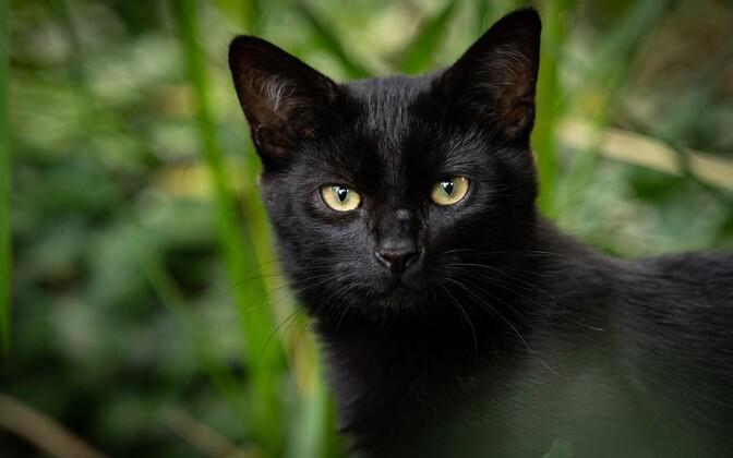 Черный кот. Иллюстративная фотография.