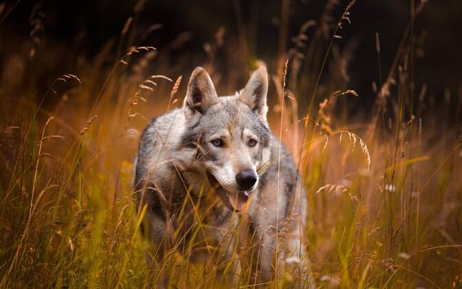 Волк. Иллюстративная фотография.
