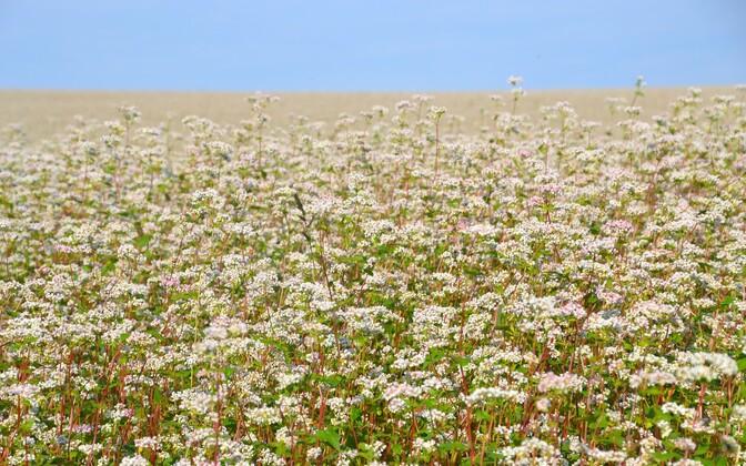 Поля с цветущей гречихой привлекают пчел и молодоженов. Иллюстративная фотография.