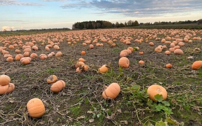 Tööstusliku kõrvitsa kasvatamine Viljandimaal Luige talu põllul.