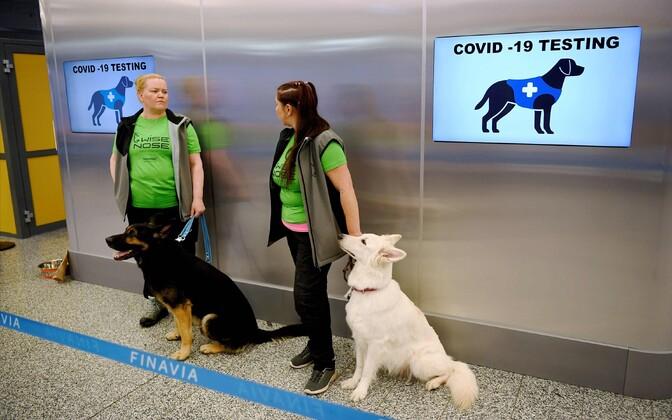 Helsingi Vantaa lennujaamas otsitakse koroonahaigeid teenistuskoertega.