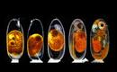 Второе место в конкурсном отборе заняла фотография, показывающяя пять различных стадий эмбрионального развития рыбы-клоуна.