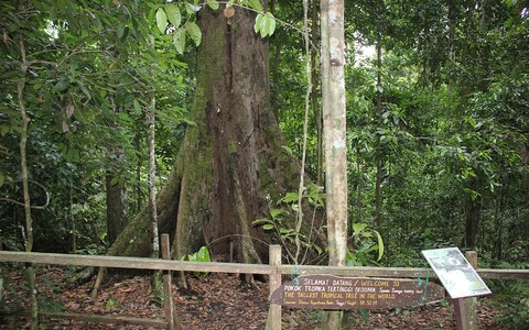 Maailma kõrgeim troopikapuu Menara.