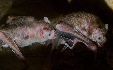 Võrreldes tervete loomadega veetsid haiged nahkhiired iga kohatud liigikkaslasega umbes 25 minutit vähem aega.