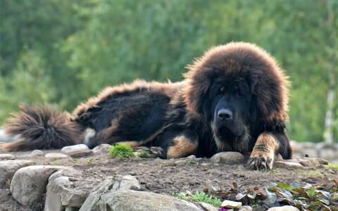 Näiteks tänapäeva Tiibeti mastiffides on segunenud pronksiaja stepi ja Uus-Guinea laulukoera geenid.