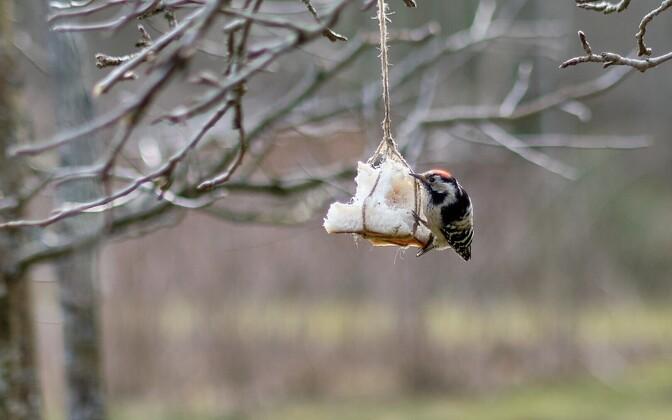 Lindude toitmine.