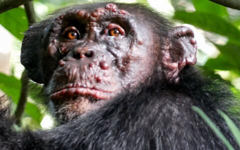Leeprasse nakatunud metsikud šimpansid panevad teadlased muretsema.