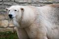 Jääkaru Rasputin saabus Tallinna loomaaeda.