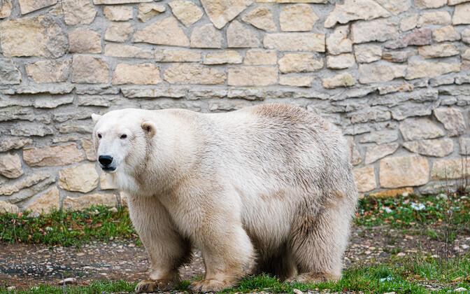 Polar bear Rasputin, the newest resident of Tallinn Zoo.