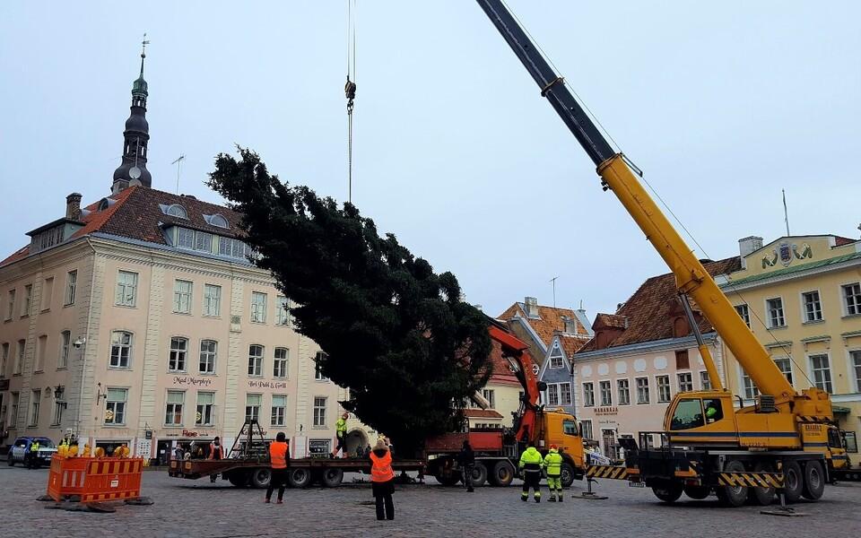 Рождественская ель доставлена на Ратушную площадь.