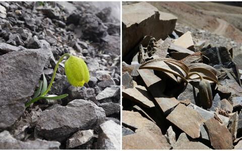 Fritillaria delavayi kasvamas kohas, kus korjesurve on väike ning kohas, kus inimesed käivad neid sagedasti korjamas.