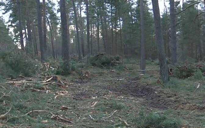 В лесу деревни Метсапооле ведется рубка обновления.