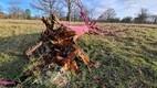 Розовый дуб не выдержал порывов ветра.