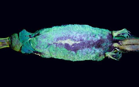 Teadlased avastasid, et nokklooma kasukas helendab ultraviolettkiirguse käes.