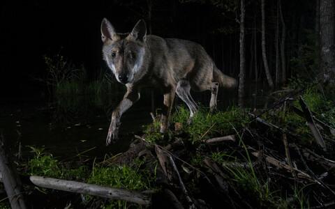 Aasta loodusfoto 2020 -- Aare Udrase foto loomaportreede kategoorias.