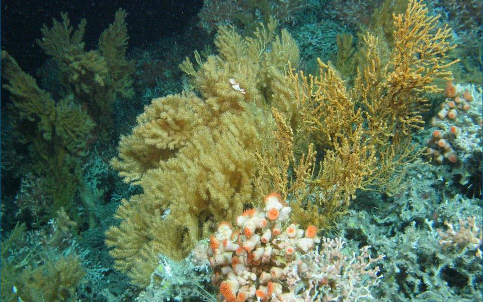 Külmavee korallid ja anemoonid Rockalli graniitsaarel.