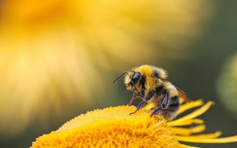 Mesilased käivad korjel ka pestitsiide ja repellente täis põldudel.