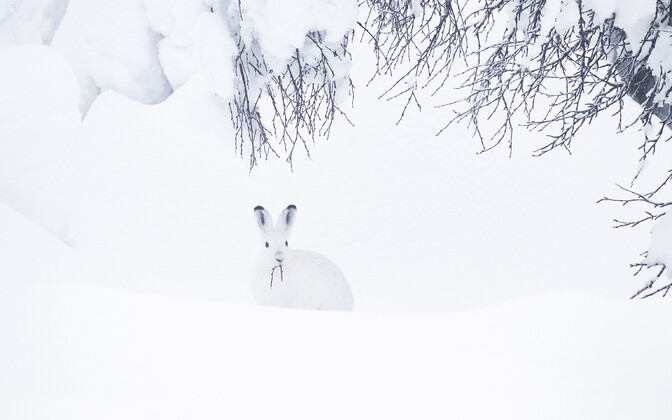 Selection of wild and domesticated animals in an Estonian winter.