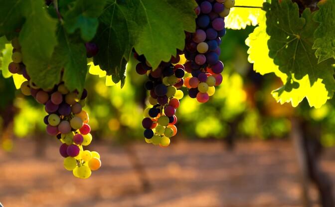 Veini omadused sõltuvadki viinamarja kasvukohast