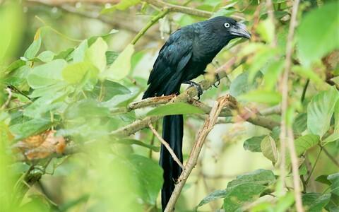 Suur-ühiskäod hoiavad lähikonnas pesitsevate liigikaaslaste pesadel silma peal.