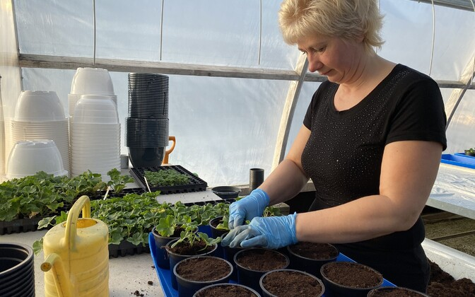 Ave Viimsalu kasvuhoones Väätsal käib taimede ümberistutamine.