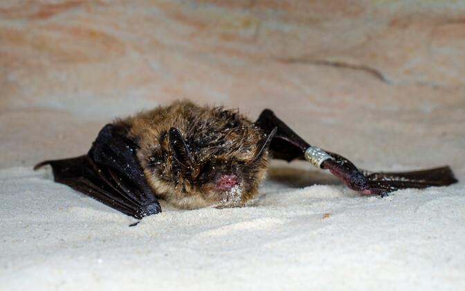 Piusa koobastest leiti harukordselt vana, 32-aastane tõmmulendlane.