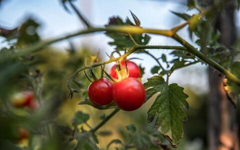 Tubakakarilased kipuvad ka tomatitaimi nosima.