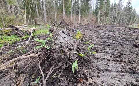 Kuivenduskraavi kaevamine hävitas Saaremaal suure hulga kaitsealuseid karulaugutaimi.