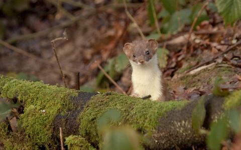 Kärbil on väike pea, lühikesed jalad, ümarad kõrvad ja karvane saba.