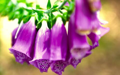 Vereva-sõrmkübara  üikematest õitest on kimalastel raskem nektarit kätte saada, kuid koolibritele sobib torujam õis vägagi hästi.