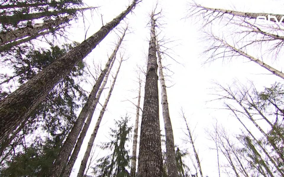 Самое высокое дерево Эстонии.