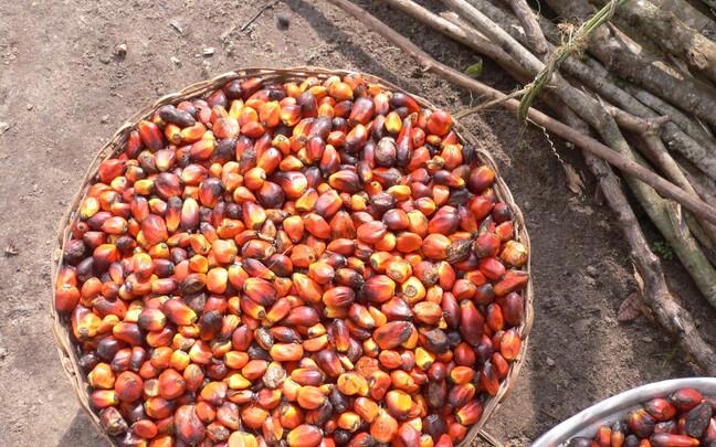 Производство пальмового масла.