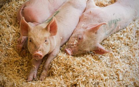 Sead ja muud loomad on selles olukorras inimese kõrval konkurent, kelle kehas elavate bakterite tõttu antibiootikum oma mõju kaotada võib.