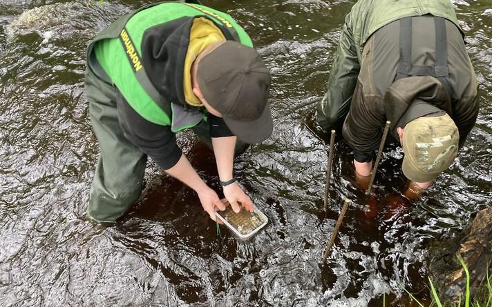 В Пылуласком рыбопитомнике жемчужниц выращивают и выпускают обратно в реку.