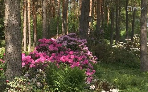 Mihkel Saare rododendronid.