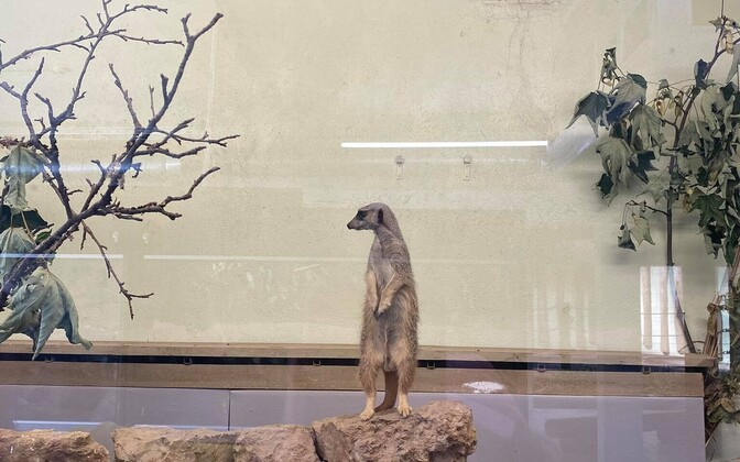 Сурикаты в Таллиннском зоопарке.