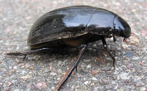Perekonda Hydrophilidae kuuluv mardikas.