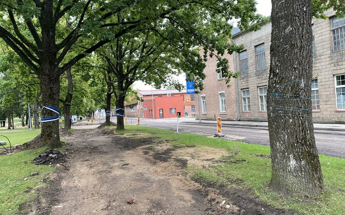 Деревья мешают дорожным работам, поэтому их решили срубить.