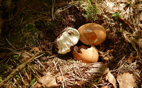 Rüüstatud kanamunadega ja platiliinist munaga tehispesa.