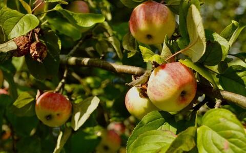 Выращенные в городе яблоки следует помыть перед употреблением.