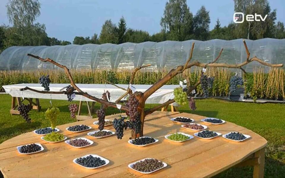 Виноград на плантации в Пярну.