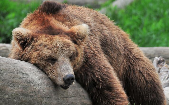 Популяция медведей сейчас велика, они даже заходят в Латвию.